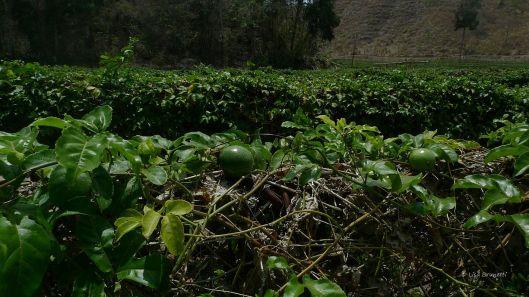 A Maracuya Farm