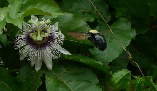 The passionflower/maracuya is equally exotic.