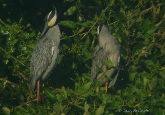 mangrove yellow crowned night heron