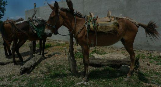 jama horses y muleP1330553