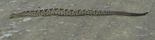 Rattlesnake crossing.  Care to walk, anyone?