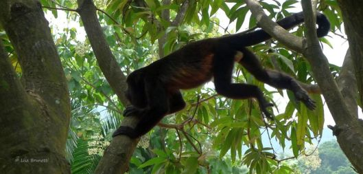 He sails through the air with the greatest of ease! (Costa Rica Howler Monkey)