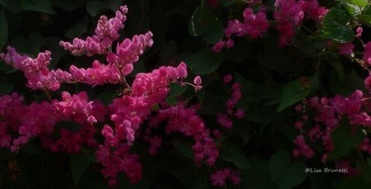 "Lovingly called ""Coralito"" in Ecuador, this prolific climber graces many fences in the country."