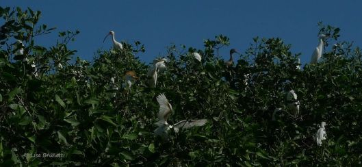 The Mangrove Melting Pot of Ibis, Egrets, Herons and Frigates