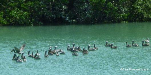 Pelican Harmony