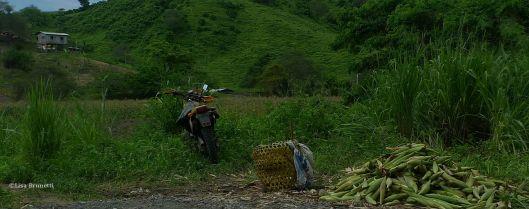Harvesting Corn - Jama Ecuador