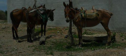 jama horses y mules