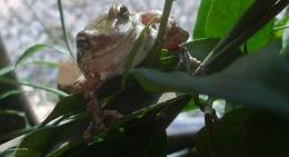 frog leaf frog smiles