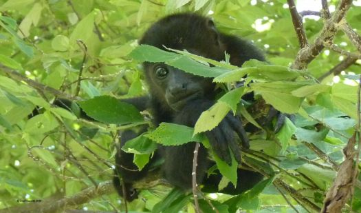Howler Monkeys watched over me when I lived in Costa Rica. They were like personal watchdogs - and even taught me their basic language!