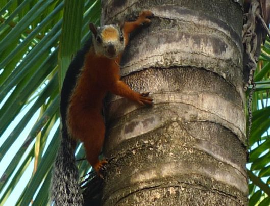 Variagated Squirrel - Costa Rica