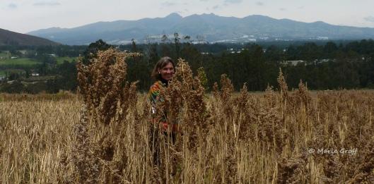 Quinoa Fields near Cayambe Ecuador - Photo by Marie Groff (Thanks, Marie!)