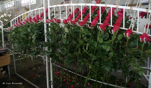 Roses must clear many hurdles before exported to your nearby florist.