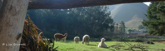 Resident llamas at Hacienda Guachala, Ecuador