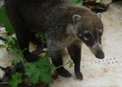 Well Good Morning to You! - Coati/Pisote - Costa Rica