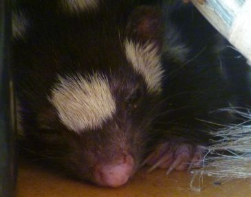 Sleeping Spotted Skunk - Don't Wake The Baby!