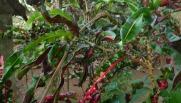 snake vine snake