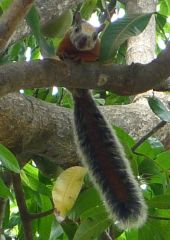 "Variegated Squirrel in Mango Tree - ""Hi!"""