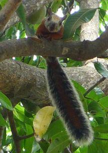"Variegated Squirrel in Mango Tree - ""Hi!"""