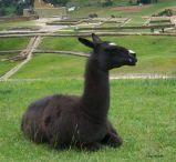 Llama at Ingapirca, Ecuador