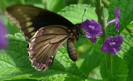 butterfly P1090381 butterfly bush