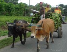 P1220488 Nicaragua LEAVING RIVAS green plantains
