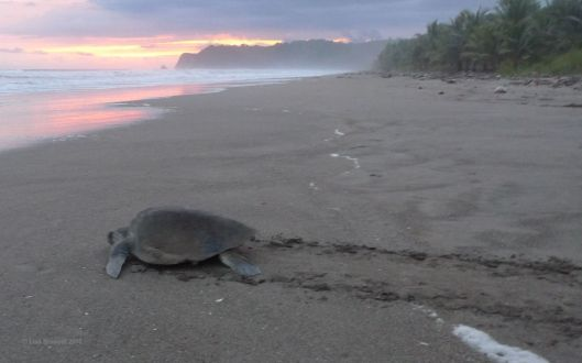 Can you imagine returning to your home beach to find that it's been plundered?!  Thankfully Playa San Miguel, Costa Rica welcomes the return of the sea turtles!