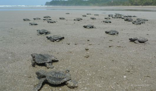 OLIVE RIDLEY SEA TURTLES. HATCHLINGS
