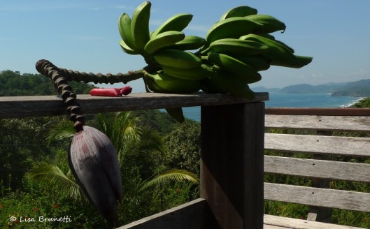 P1270451 green bananas y flower