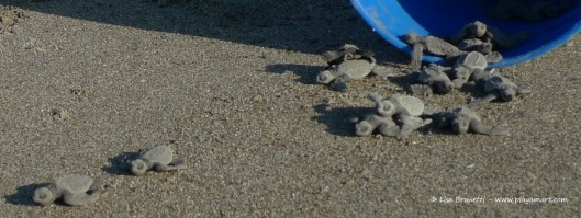 Christmas morning 2012 - What a gift to cheer the baby turtles as they trekked to their first dip in the ocean!