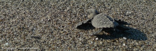 Like a baby mammal in search of its mother's first milk, the hatchling follows the call of the ocean.