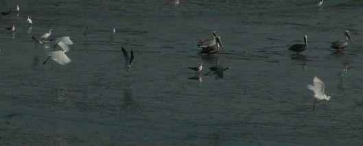 P1380141 pelicans egrets gulls