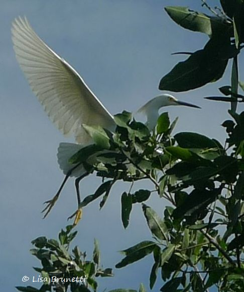 P1480709 egret in mangrove