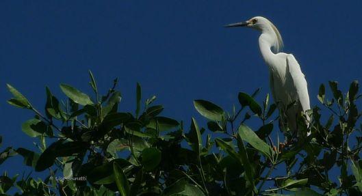 P1480762 horiz egret breeding pulumage
