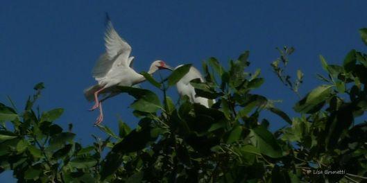 P1480774 ibis