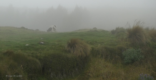 P1580238 guaranda bound cow y fog