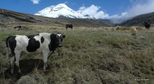 P1580360 chimbo cows