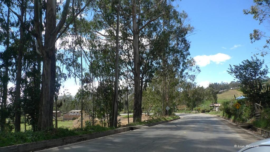 P1580434 guaranda eucalyptus
