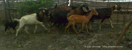 0 damn goats P1400151 damn goats damn goats damn goats