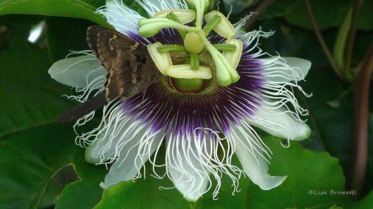 FLOWER maracuya P1450244 pURPLE