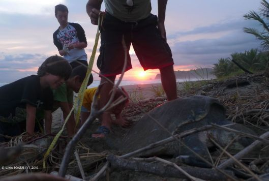 While the female turtle is in her egg-laying trance, the biologists record data then transfer the eggs to a nursery.