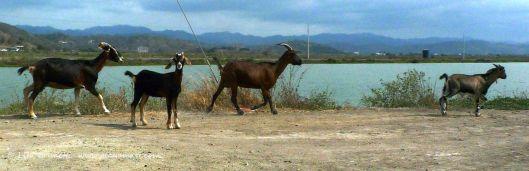 P1340982 goats