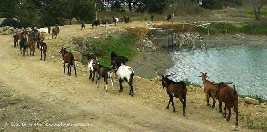 P1380631 goats