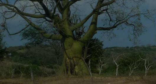 A Grand Ceibo Tree