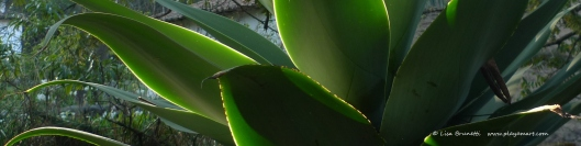 Agave - Light and Shadow