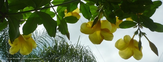 Looking up, I admire the alamanda.