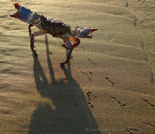 00 13 P1020317 dawn crab