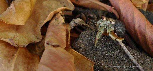 00 24 b dawn hermit crab copyright lisa brunetti