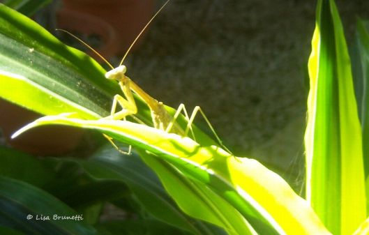 green insects mantis 2