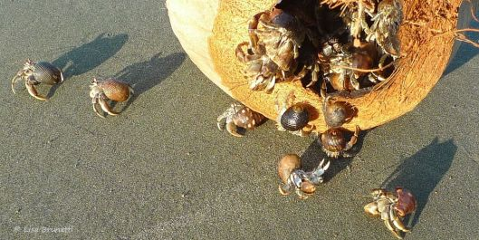 I love to watch hermit crabs scurrying out of a coconut shell!