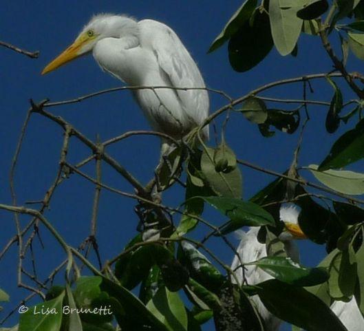 mangroves egretsP1480903